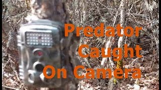 Predator caught on camera
