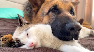 The German Shepherd uses a Cat as a pillow!