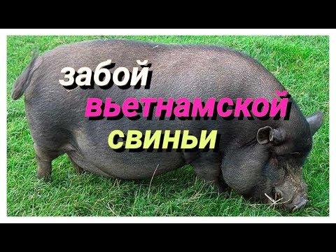 Забой вьетнамской свиньи.