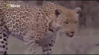 Две самки леопарда Заповедник Африки Пятнистые дикие кошки Заботящиеся матери Охота и забота
