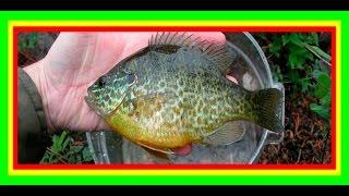 Старинный способ ловли рыбы на палец.  Ловля солнечного окуня. Sunfish.