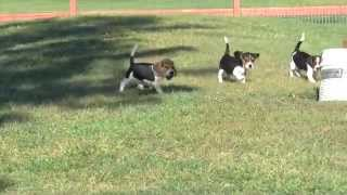 Beagles For Sale 090115