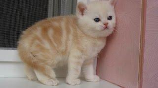шотландские вислоухие котята Стерлитамак
