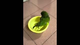 (鸚鵡)歡歡 玩水洗澡 thumbnail