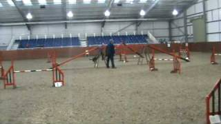 Zico The Kelpie, Dog Agility Training In Competition For Olympia, Owned & Handled By Nigel Staines (morgans Kelpie Stud Uk)