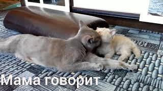 Кошка ругает котенка, воспитание. ( Кошка говорит )