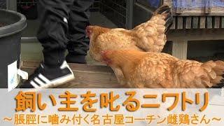 """2017年12月初旬。 生後8ヶ月の名古屋コーチン若雌鶏""""かえで""""の様子が変..."""