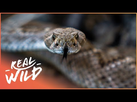 Explore The Western Diamondback Rattlesnake! | Real Wild