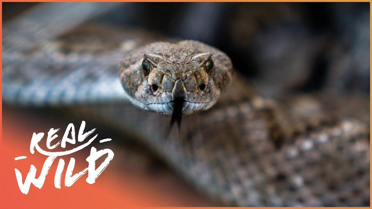 Download The Mysterious World Of The Western Diamondback Rattlesnake | Real Wild