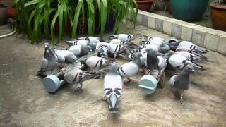 Blue bar pigeons - big-pic Vietnam loft part 1