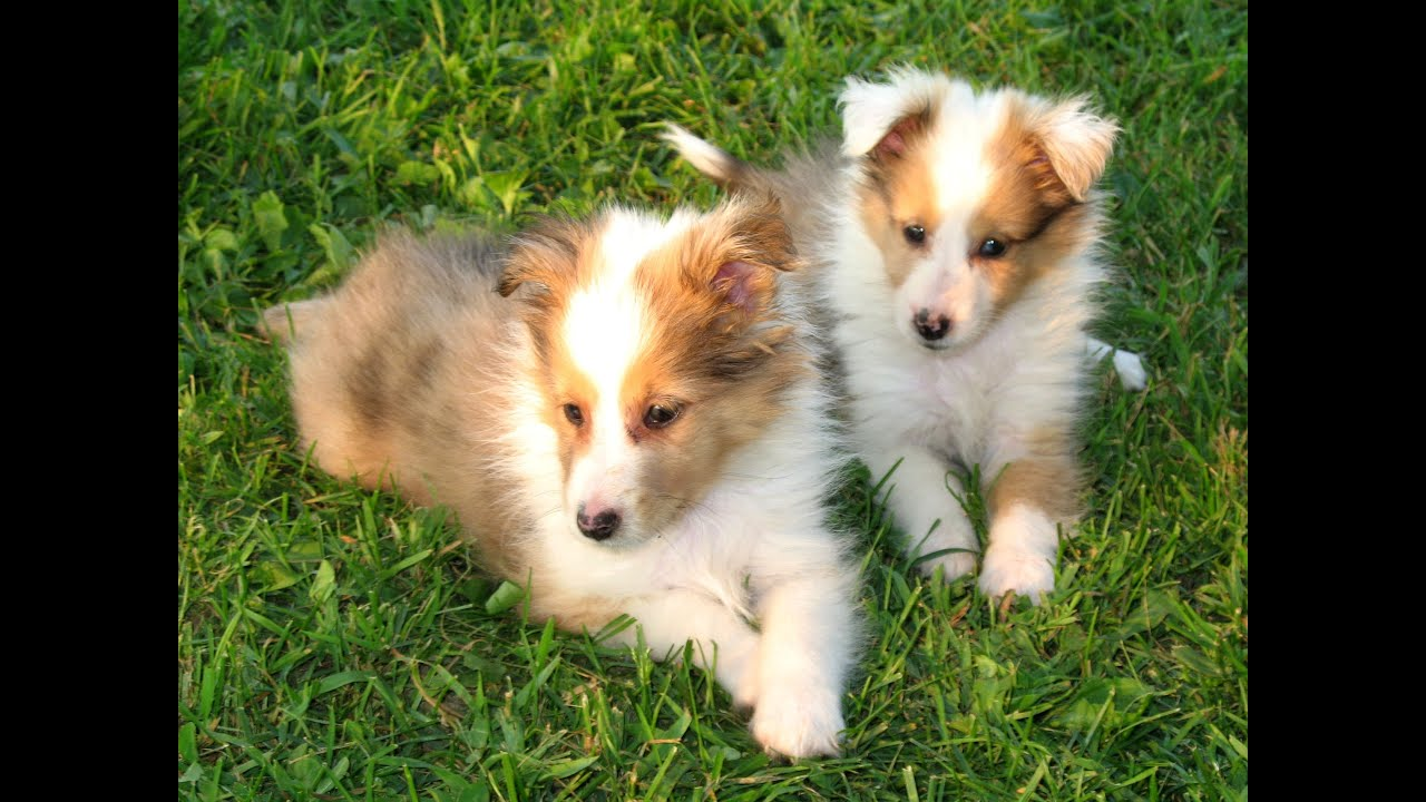 Shetland Sheepdog Puppies Dogs For Sale In