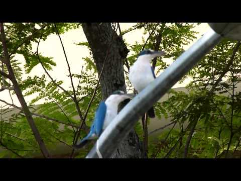 Collared Kingfisher - Other Calls