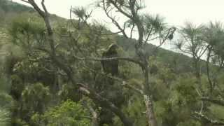 """NEFL """"The stand off"""" Juvie on branch at nest, Romeo escorts him off  3-11-14"""