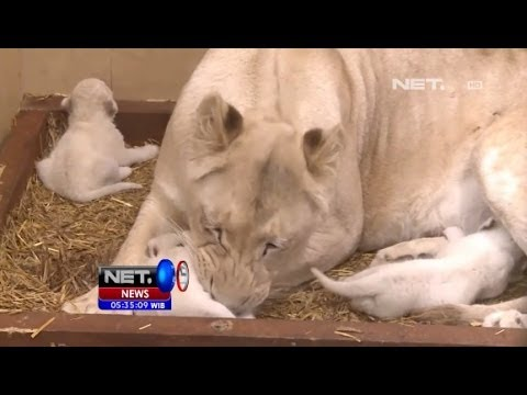 NET5 - Bayi Kembar Tiga Singa Putih di Polandia