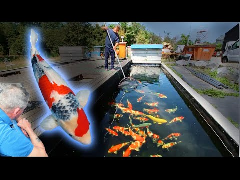 Dainichi's GOLD Collection - The BEST Koi Fish Selection