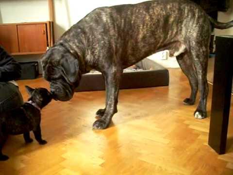 Cane corso meets french bulldog puppy - YouTube