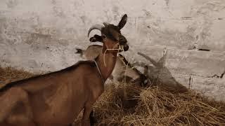 Rozwój hodowli Kóz