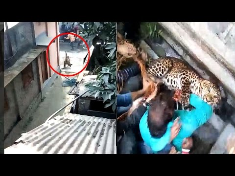 On Cam: Leopard enters Bengal town, attacks locals before capture