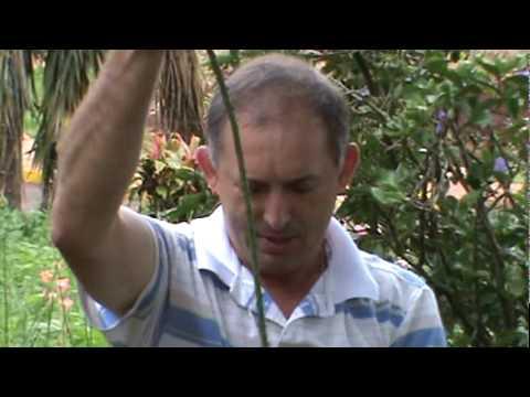 Como Plantar ROSAS - maneira mais prática - Video mais visto