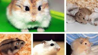 paraziti la hamsteri)