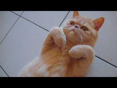 Gibson Exotic Shorthair Chat