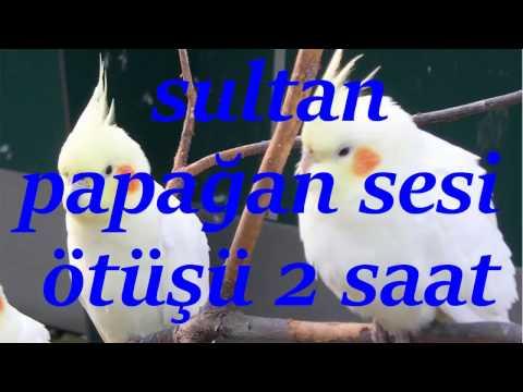 Sultan Papağanı Sesleri ve Ötüşü 2 saat  Cockatiel Birds  Birdsong 2 hours