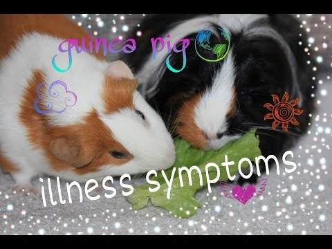 Guinea Pig Illness Symptoms + What They Might Mean