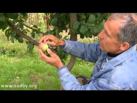 Как правильно хранить яблоки? - Уроки Николая Рабушко.