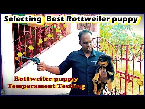 How to Choose a Guarding |protecting Rottweiler Puppy  | Temperament Test
