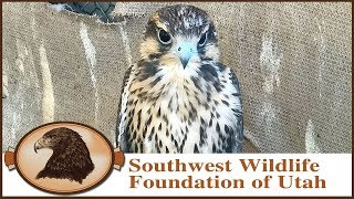 Falconry | Prairie Falcon Training Part One