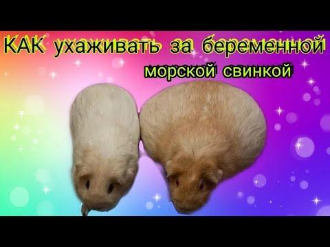 Svinki Family: КАК ухаживать за беременной морской свинкой/роды/подготовка/выбор пола свинок