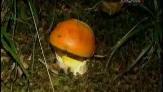 Цезарский гриб. Прославлен гриб был полководцем Лукуллом — знаменитым гурманом