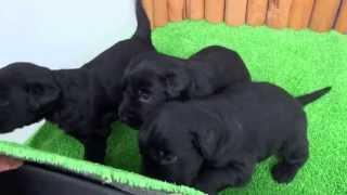 フラットコーテッドレトリバーの子犬です。 2013年6月5日生まれ ブラッ...