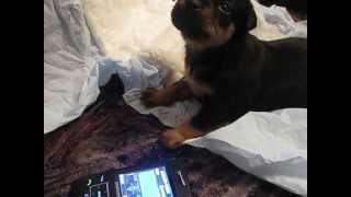 щенок карликового пинчера прикольно поёт под музыку на телефоне!!!