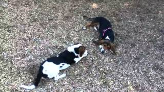 Basset Hound And Beagle Playing