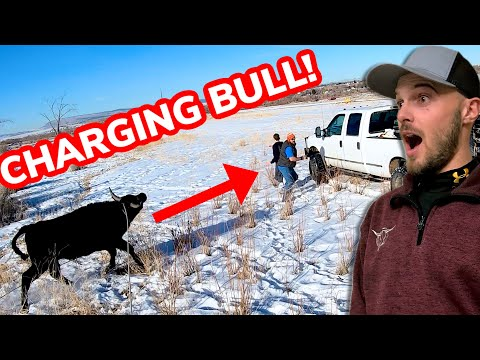 Roping CRAZY Bulls That Escaped: Vlog 19