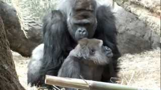 Repeat youtube video You are persistent! Gorillas mating.アンタしつこい!ゴリラの交尾。