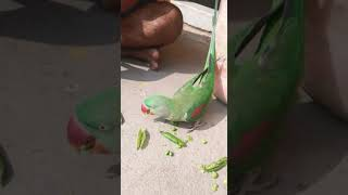 Green parrot talking