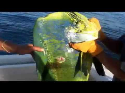 World Record Dorado BIG Large Huge MAHI MAHI Dolphinfish CABO San Lucas Picanté Sport Fishing Fleet
