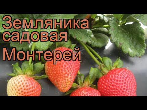 Земляника садовая Монтерей (fragaria ananassa) 🌿 обзор: как сажать, рассада земляники Монтерей