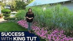 How to Have Success With King Tut Grass // Garden Answer