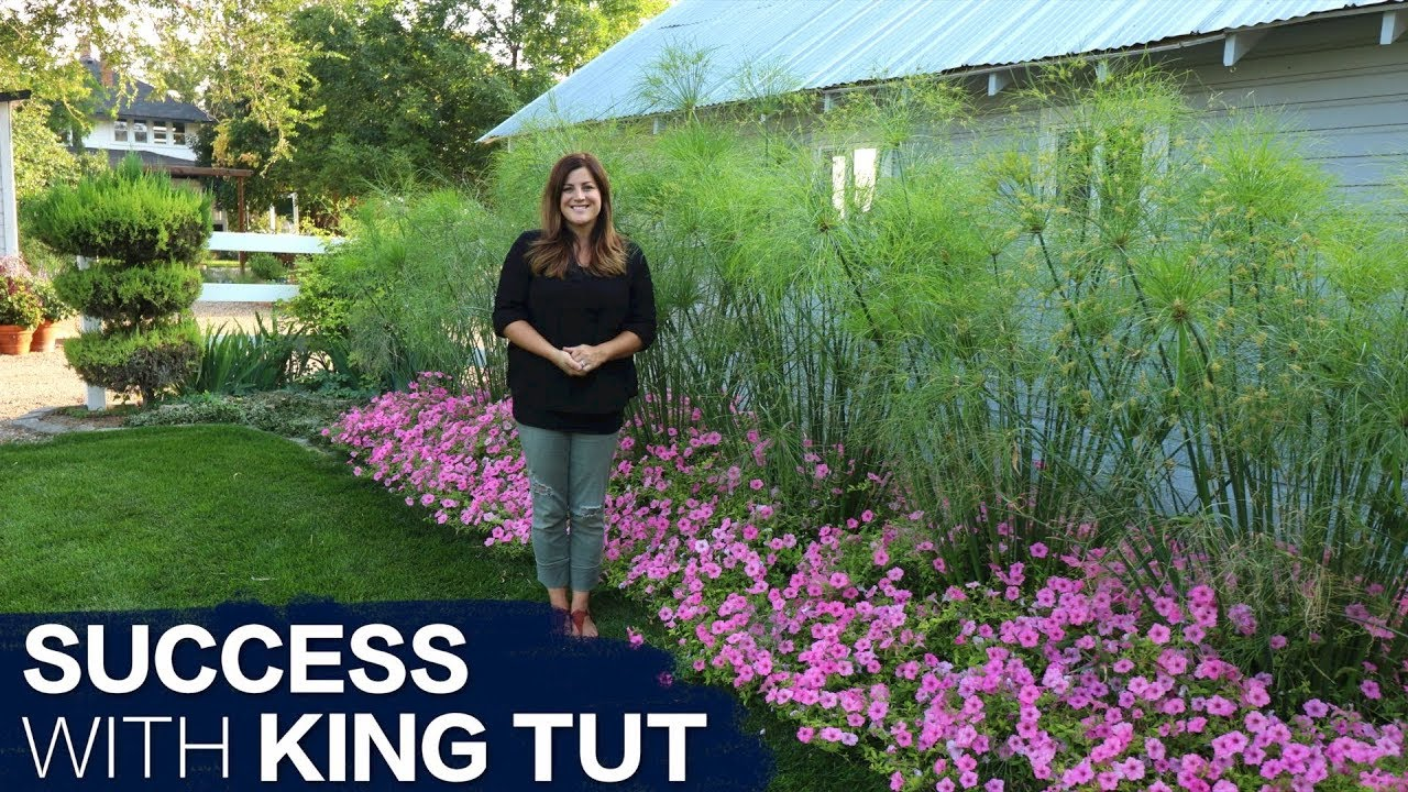 How to Have Success With King Tut Grass // Garden Answer - YouTube