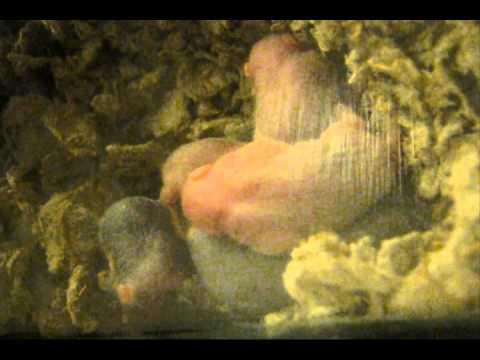 Thirteen minutes of sleeping baby hamsters
