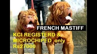 French Mastiff pupps KCI & MICROCHIPED 27000/only