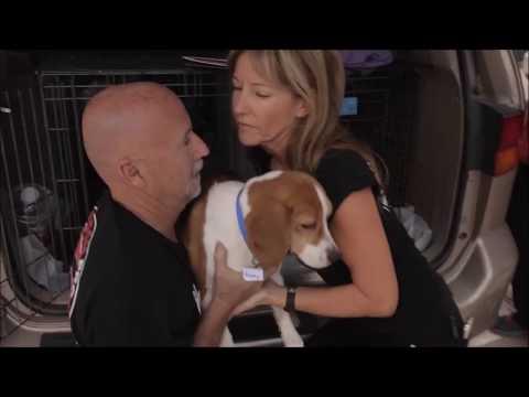 Beagle Freedom Project Viva Las Vegas