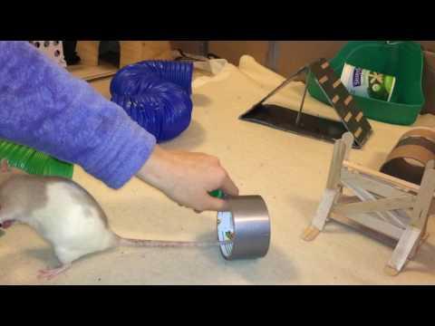 Rat Agility Courses