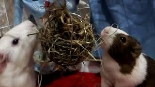 Видео урок для папы с морскими свинками)))