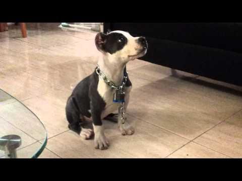 EL perro mas inteligente del mundo