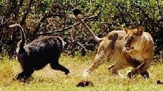 動物 野生 トップ 5 ライオン VS ヒヒ の 攻撃 HD 動物 野生 トップ 5 ...