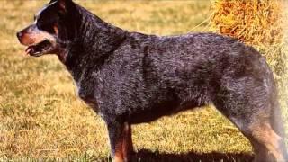 Австралийская пастушья собака австралийский хилер — порода собак  выведенная в Австралии